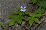 Photo 1/2 Geranium nodosum L.
