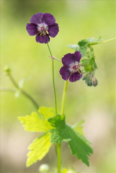Geranium phaeum L.