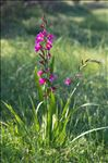 Photo 1/10 Gladiolus italicus Mill.