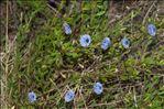 Photo 2/2 Globularia alypum L.