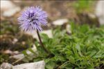 Photo 2/6 Globularia cordifolia L.
