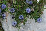 Photo 5/6 Globularia cordifolia L.