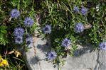 Photo 4/6 Globularia cordifolia L.