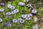 Photo 3/6 Globularia cordifolia L.
