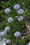 Photo 6/6 Globularia cordifolia L.