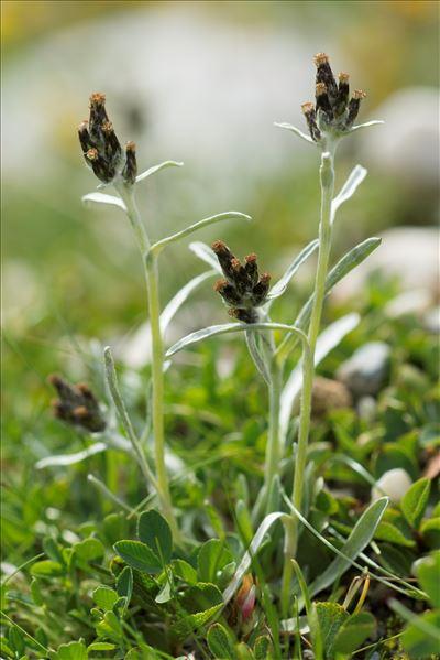 Gnaphalium hoppeanum W.D.J.Koch