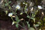 Photo 2/2 Cerastium pumilum Curtis
