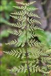 Photo 1/1 Gymnocarpium robertianum (Hoffm.) Newman