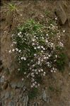 Photo 2/5 Gypsophila repens L.