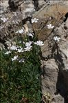 Gypsophila repens L.