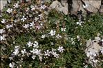 Photo 4/5 Gypsophila repens L.