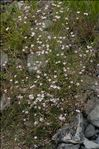 Photo 3/5 Gypsophila repens L.