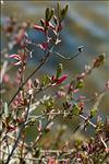 Halimione portulacoides (L.) Aellen