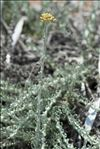 Helichrysum italicum subsp. microphyllum (Willd.) Nyman