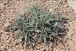 Photo 1/2 Helichrysum italicum subsp. microphyllum (Willd.) Nyman