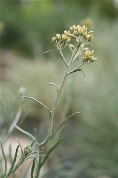 Helichrysum italicum subsp. serotinum (DC.) P.Fourn.