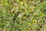 Photo 2/2 Helosciadium crassipes W.D.J.Koch