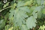 Heracleum pyrenaicum Lam.