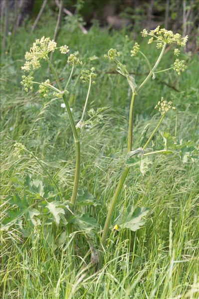 Heracleum sibiricum L.