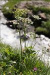 Heracleum sphondylium subsp. elegans (Crantz) Schübler & G.Martens