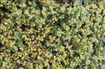 Herniaria alpina Chaix