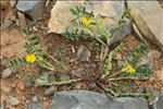 Photo 1/1 Hippocrepis biflora Spreng.