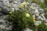 Photo 4/4 Hieracium intybaceum All.
