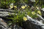 Photo 3/4 Hieracium intybaceum All.