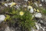 Photo 2/4 Hieracium intybaceum All.