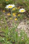 Chamaemelum nobile (L.) All.