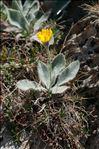 Hieracium tomentosum L.