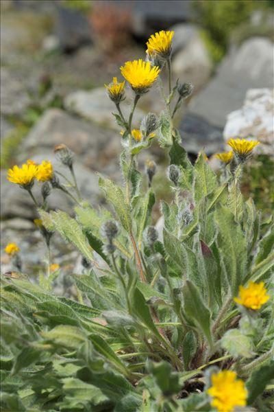 Hieracium villosum Jacq.