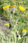 Photo 1/1 Hieracium villosum Jacq.