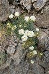 Hormathophylla halimifolia (Boiss.) P.Küpfer