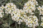Hormathophylla spinosa (L.) P.Küpfer