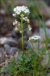 Hornungia alpina (L.) O.Appel