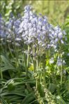 Photo 1/1 Hyacinthoides hispanica (Mill.) Rothm.