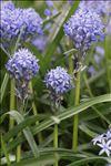 Photo 1/2 Hyacinthoides italica (L.) Rothm.