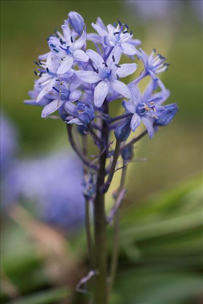 Hyacinthoides italica (L.) Rothm.