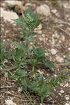 Photo 2/2 Chenopodium vulvaria L.