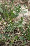Photo 1/2 Chenopodium vulvaria L.