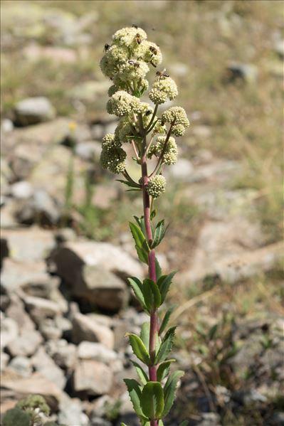 Hylotelephium maximum (L.) Holub