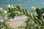 Photo 1/5 Hyoscyamus albus L.