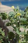 Photo 4/5 Hyoscyamus albus L.