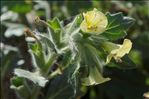 Photo 3/5 Hyoscyamus albus L.