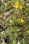 Hypericum australe Ten.
