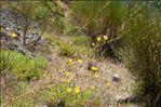 Photo 3/3 Chondrilla juncea L.