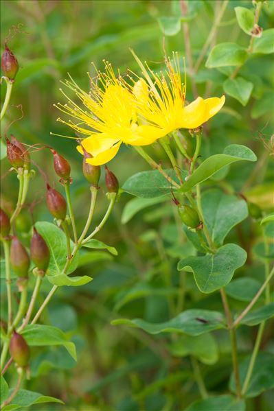 Hypericum hircinum L.