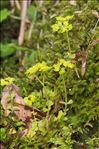 Chrysosplenium oppositifolium L.