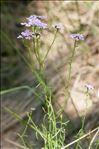 Iberis linifolia subsp. stricta (Jord.) Rouy & Foucaud